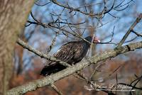Turkey Vulture Mid-Fall 20121121_4a