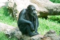 male silver back gorilla sitting