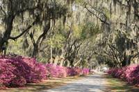 Road with azaleas and live oaks in Spring