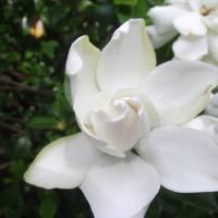 White Gardenia Art Prints & Posters by Jeff Wohl