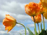 Tulip art prints Orange Tulips Flowers Sky Clouds