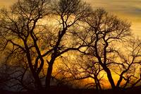 Dancing Trees Golden Sunset