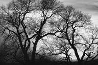 Dancing Trees Black and White Sunset