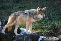 Mexican Wolf 20130107_397a