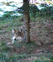 Mexican Wolf 20130107_405b