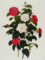 Buff or Hume's Blush Camellia: Myrtle Leaved Camel