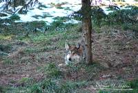 Mexican Wolf 20130107_405a