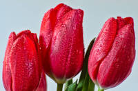 Dew-dropped Tulips