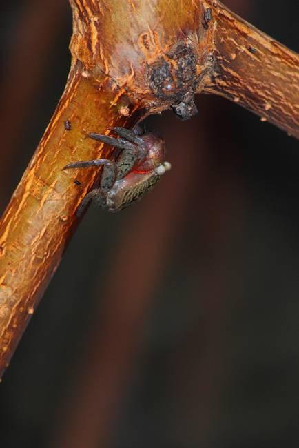 Mangrove Crab