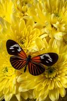 Orange Black Butterfly