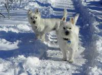 Two Sweet Westies