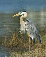 Great Blue Heron Head Portrait
