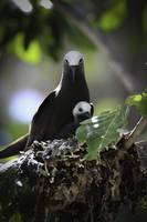 Bird Brown Noddy Family - Cousin Island