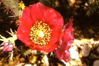 Flowering Cholla