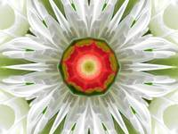 The Daisy Mandala