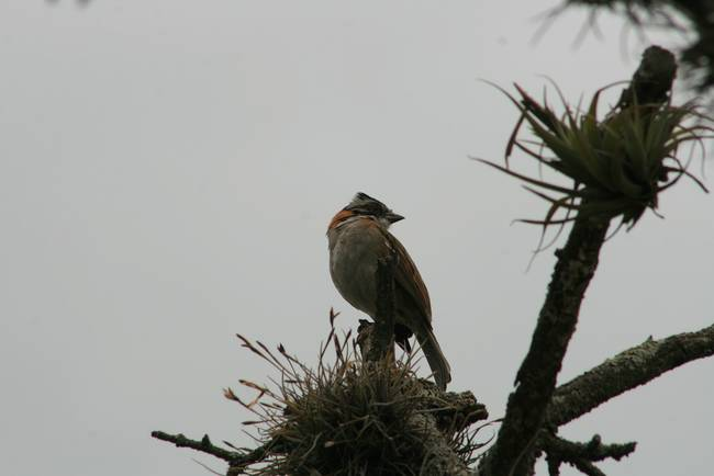 Rufous Collared Sparrow on a Tree Top
