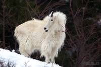 The Magnificent Mountain Goat