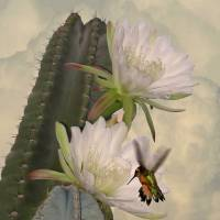 Apple Cactus Flowers and Hummingbird by I.M. Spadecaller