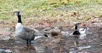 Puddle Ducks and a Goose