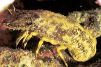 Indo Pacific Rock Lobster