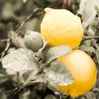 Lemons by Jen Wheeler
