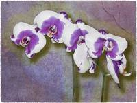 Purple Phalaenopsis by Giorgetta Bell McRee
