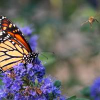 Monarch and the Bee Art Prints & Posters by Janet Harper