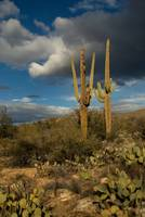 Saguaros Before the Storm