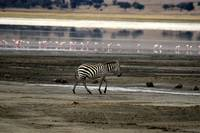 zebra in front of flamingos