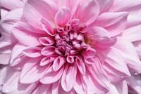 Sweet Pink Dahlia by Carol Groenen