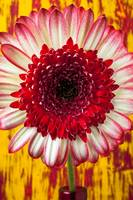 Bright Red And White Mum