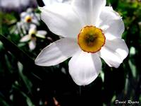 White Narcissus, Backlit