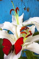 Red butterfly on white tiger lily