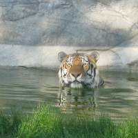 Tiger wet Art Prints & Posters by Isaac Benshabbat
