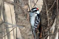 Male Downy Woodpecker