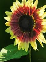 Sunflower Ring of Fire