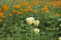 The Blooming of the California Poppy