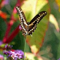 Butterfly  Giant Swallowtail by Karen Adams