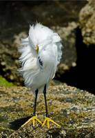 Snowy Egret in the breeze