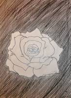 White rose pencil drawing