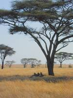 Lions in Serengeti Shade