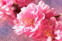 Blooming cherry blossom 4