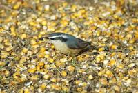 Yellow belly nuthatch