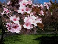 Blooming cherry blossom 5