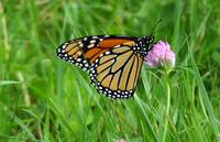 Monarch butterfly on a stem of fresh clover