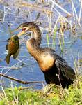 Anhinga with fish_22922