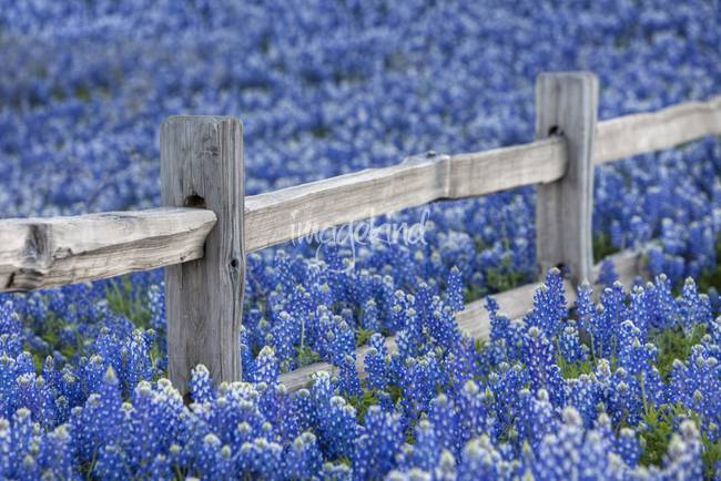 Texas Bluebonnets and an Olden Wooden Fence
