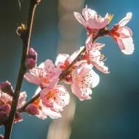 spring peach tree blossom by Alexandr Grichenko