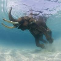 Swimming Elephant - 22FEB07rajan050 Art Prints & Posters by Mark Strickland