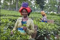 Tea pickers, Jorhat, Assam, India